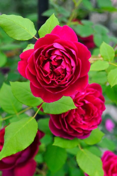 【大苗】バラ苗 アンダーザローズ (UR黒赤) 国産苗 6号鉢植え品【即納】《KMG-Km2》