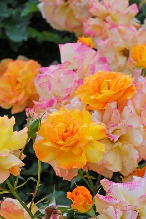 【予約大苗】バラ苗 サハラ98 (Cl橙) 国産苗 6号鉢植え品《YM-C_J-MC》※2月末までにお届け