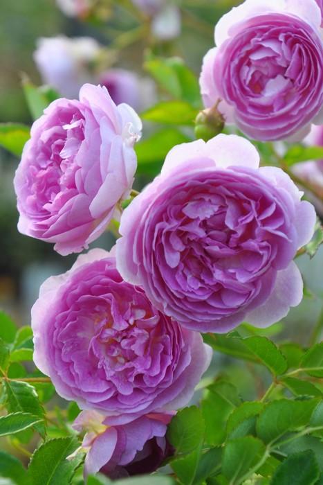バラ苗【6号新苗】アントマギーズローズ () 国産苗 6号鉢植え品《J-OB20》 0707販売
