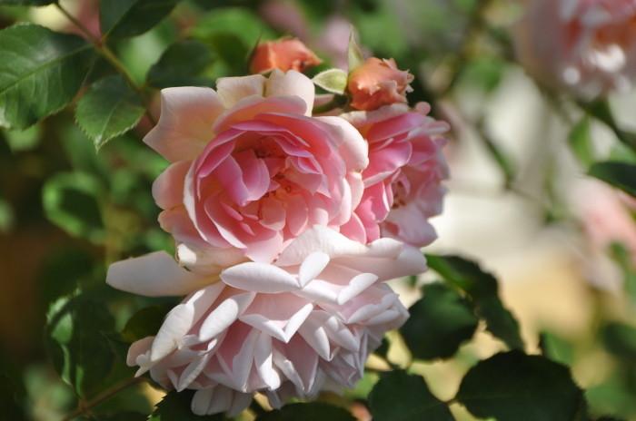 【予約大苗】バラ苗 フェリシア (HMsk桃) 国産苗 6号鉢植え品《J-MC15》※2月末までにお届け
