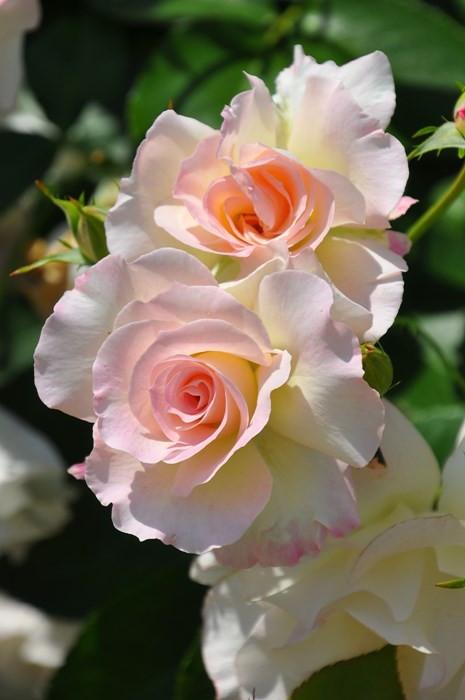 【大苗】バラ苗 マチルダ (FL桃) 国産苗 6号鉢植え品《YM-B_J-MB》