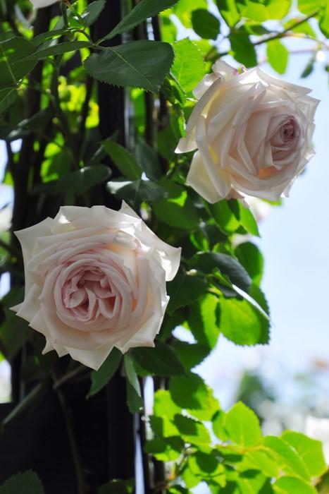 【予約大苗】バラ苗 ミラディドゥウインター【Milady de Winter】(UR白) 国産苗 6号鉢植え品《KMG-GR1》※2月末までにお届け