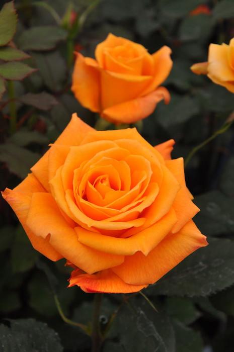 バラ苗【中苗】カシスオレンジ (HT橙) 国産苗 6号鉢植え品【即納】《KMG-KMG》