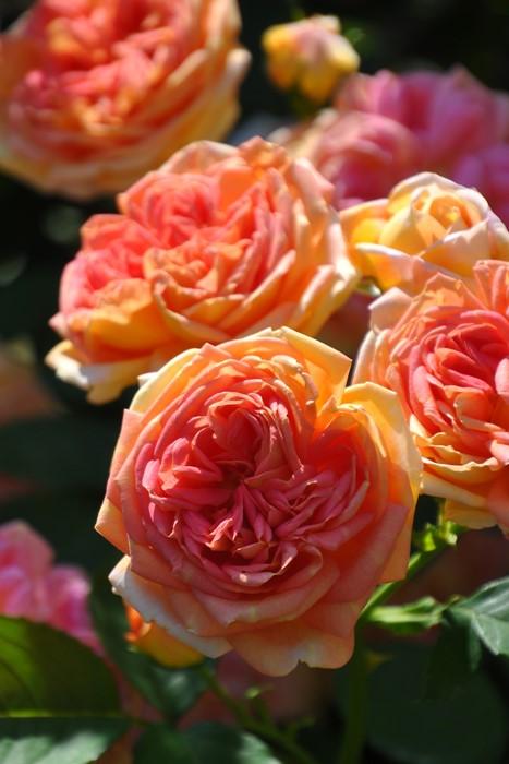 バラ苗【中苗】アルキミスト (Sh橙) 国産苗 6号鉢植え品《J-CL15》