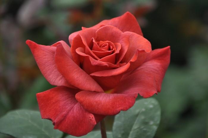 【大苗】バラ苗 ブラックティ (HT茶) 国産苗 6号鉢植え品《J-MB15》