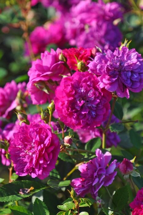 【大苗】バラ苗 スイートチャリオット (Min濃桃) 国産苗 6号鉢植え品《J-MB15》