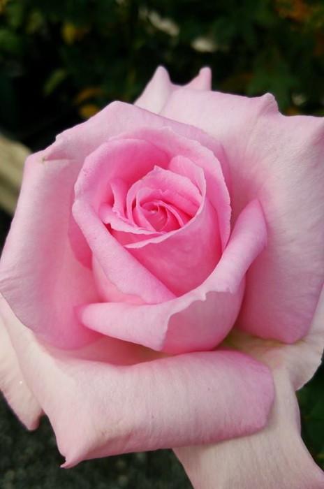 【大苗】バラ苗 フレグラントヒル【ティニーグレース】(HT桃) 国産苗 6号鉢植え品[契約品種]《MA-MA2》