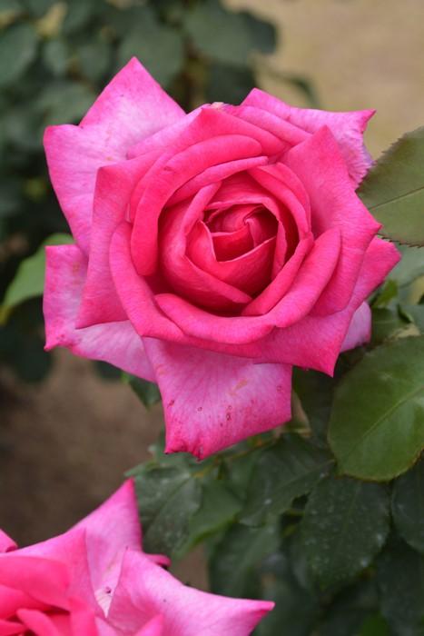 【大苗】バラ苗 パローレ (HT桃) 国産苗 6号鉢植え品《J-MB15》
