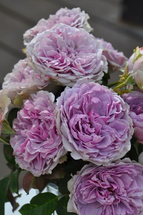 【大苗】バラ苗 コフレ (RM紫) 国産苗 6号鉢植え品【即納】《Kb-RM》2019冬新品種