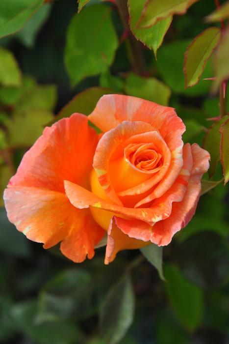バラ苗【中苗】ウィスキーマック (HT橙) 国産苗 6号鉢植え品【即納】《J-HT20》
