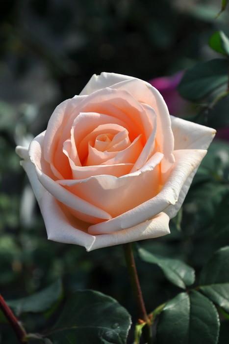 バラ苗【中苗】オジアーナ (HT白) 国産苗 6号鉢植え品【即納】《J-HT20》