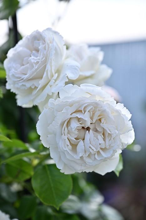 【予約大苗】バラ苗 パブロワ (Del白) 国産苗 6号鉢植え品《Han-DEL》※2月末までにお届け
