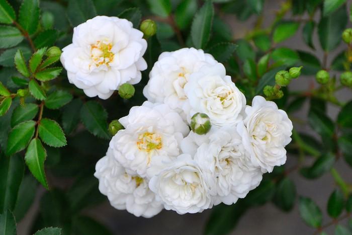 バラ苗【6号新苗】ホワイトフェアリー (Sh白) 国産苗 6号鉢植え品《J-MIN20》 0707販売