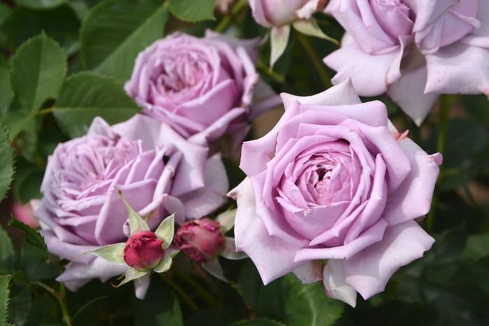 バラ苗【新苗】ベラドンナ (UR紫桃) 国産苗[契約品種]《KMG-GR1》 0425販売