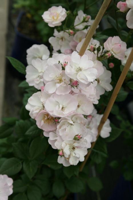 バラ苗【中苗】ペレニアルブラッシュ (CL白) 国産苗 6号鉢植え品【即納】《IR-IRO3》