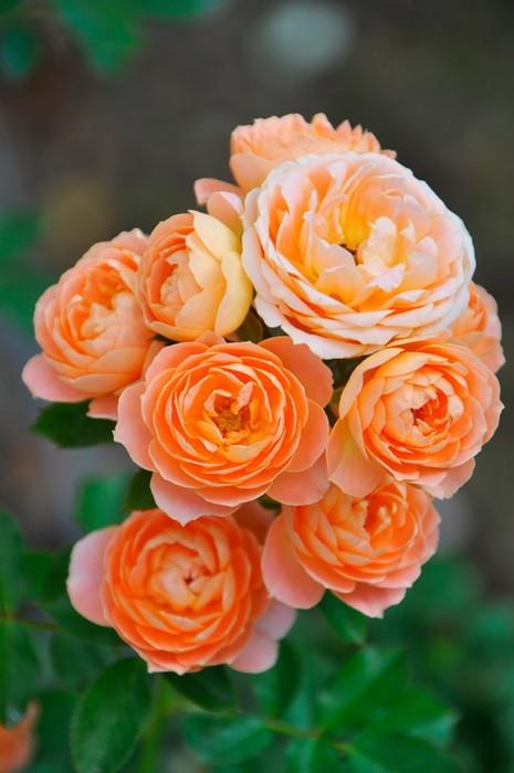 バラ苗【6号新苗】スイートドリーム (Cl橙) 国産苗 6号鉢植え品《J-CL10》 0707販売