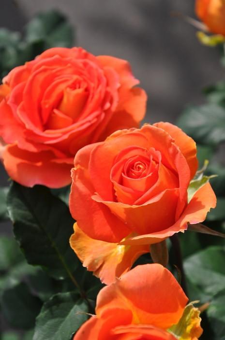【大苗】バラ苗 ブラスバンド (FL橙) 国産苗 6号鉢植え品【即納】《J-MB15》