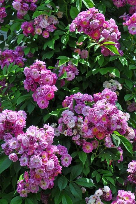 【大苗】バラ苗 ペレニアルブルー (Cl紫) 国産苗 6号鉢植え品【即納】《IR-IR3》
