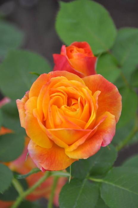 バラ苗【中苗】ジョセフスコート (Cl複橙) 国産苗 6号鉢植え品《J-CL15》