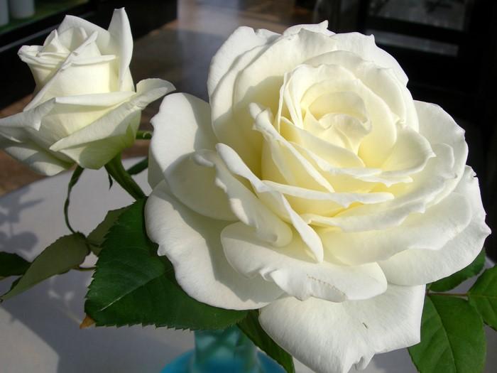 バラ苗【中苗】ティネケ (HT白) 国産苗 6号鉢植え品《J-HT10》 0920追加 ポイント5倍