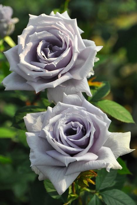 【大苗】バラ苗 せいりゅう【青龍】(HT青紫) 国産苗 6号鉢植え品《J-KAI》