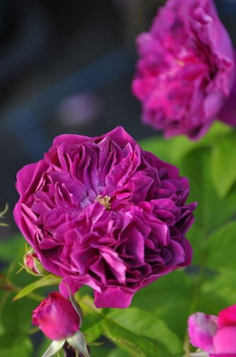 バラ苗【6号新苗】ユアインネルンアンブロ (HP紫) 国産苗 6号鉢植え品《J-OC10》 0707販売