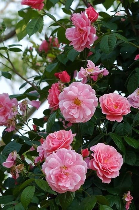 【大苗】バラ苗 キャメロット (Cl複桃) 国産苗 6号鉢植え品【即納】《IR-IR3》