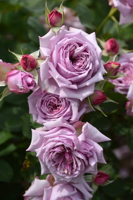 【大苗】バラ苗 ベラドンナ (UR紫桃) 国産苗 6号鉢植え品【即納】《KMG-Km2》