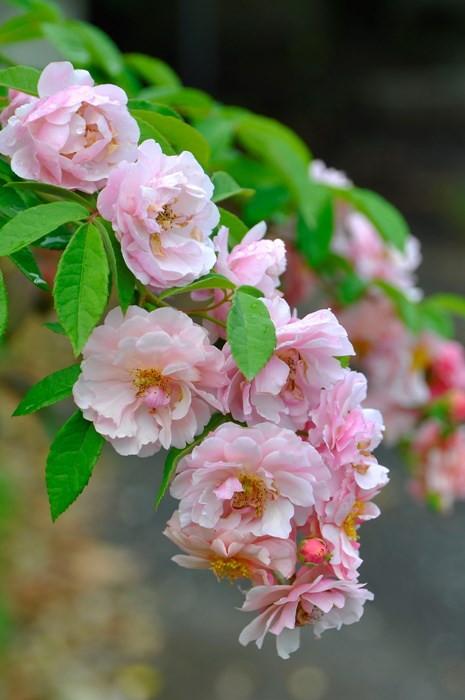 【予約大苗】バラ苗 コーネリア (HMsk薄桃) 国産苗 6号鉢植え品《J-MC15》※2月末までにお届け
