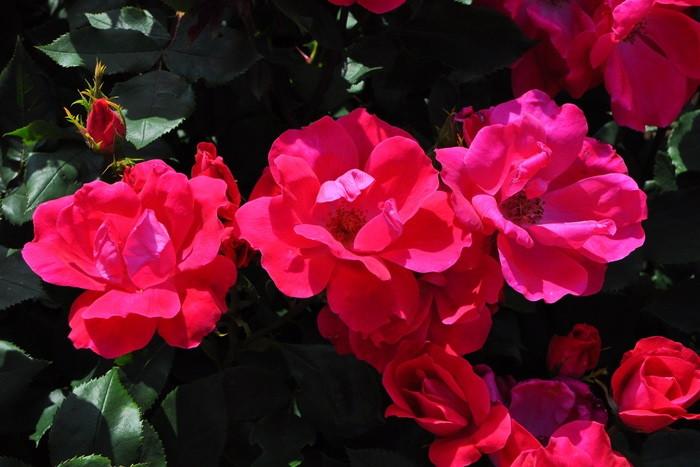 【大苗】バラ苗 ノックアウト (FL濃桃) 国産苗 6号鉢植え品【即納】[農林水産省 登録品種]《IR-IRO3》