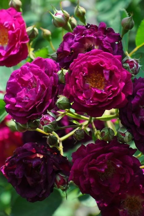 【予約大苗】バラ苗 アイヴァンホー (CL赤紫) 国産苗 6号鉢植え品[契約品種]《OM-ZEK》 ※2月末までのお届け