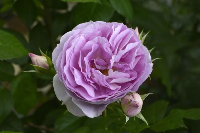 【大苗】バラ苗 エーデルシュタイン (CL桃) 国産苗 6号鉢植え品【即納】《IR-IR3》 2019冬新品種