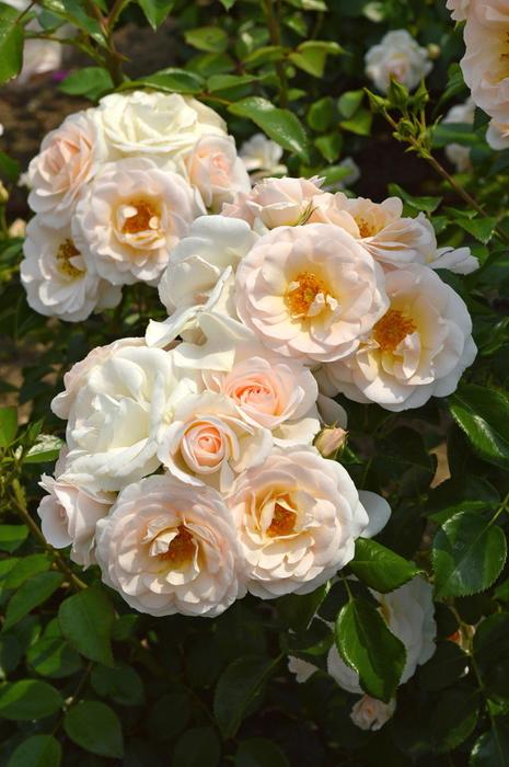 【予約大苗】バラ苗 シリウス (CL淡桃) 国産苗 6号鉢植え品《IR-IRO3》※2月末までにお届け