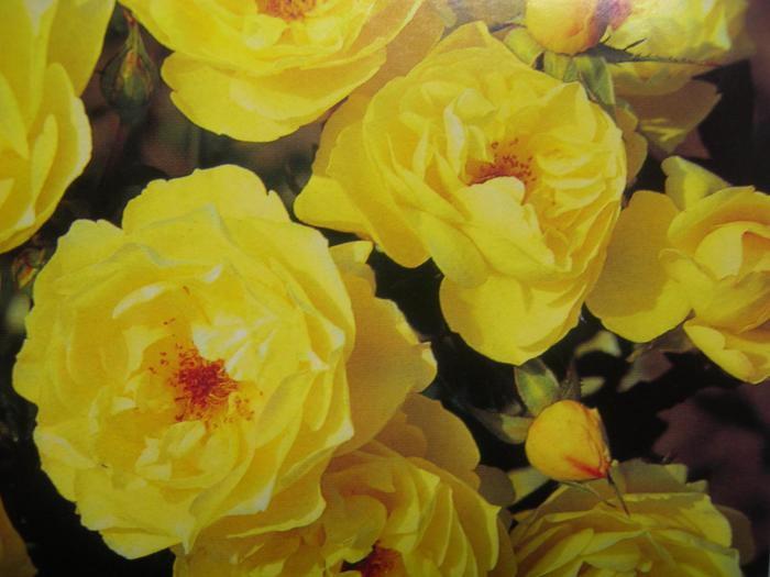 バラ苗【中苗】ゴールデンタッチ (Sh黄) 国産苗 6号鉢植え品【即納】《J-SB20》