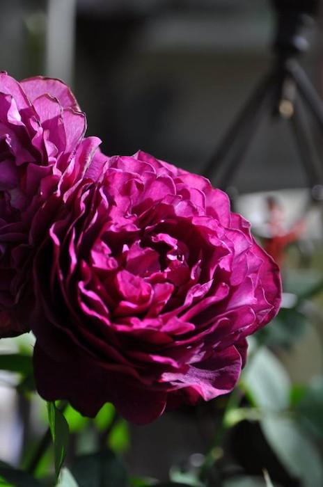 【大苗】バラ苗 まよ【真夜】マヨ (FL黒赤) 国産苗 6号鉢植え品【即納】[契約品種]《OM-ZEN》