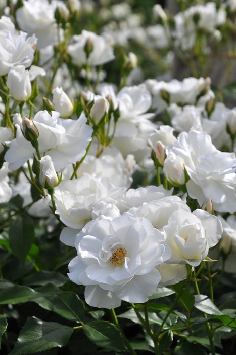 バラ苗【6号新苗】つるアイスバーグ (Cl白) 国産苗 6号鉢植え品《J-CL10》 0707販売