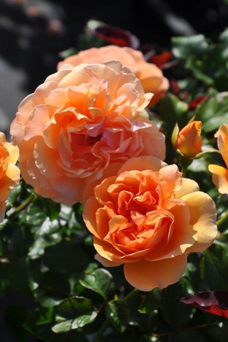 【大苗】バラ苗 アンゲリカ (Sh橙) 国産苗 6号鉢植え品[契約品種]《J-YR》