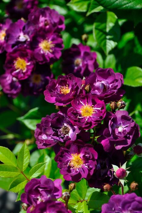 バラ苗【6号新苗】ヴァイオレット (R赤紫) 国産苗 6号鉢植え品《J-OC15》 0707販売