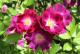 【大苗】バラ苗 サングリアナイト (FL紫) 国産苗 6号鉢植え品[農林水産省 品種登録出願中]《IR-IRO3》