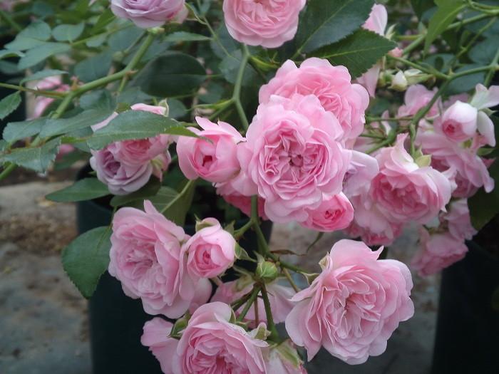 【予約大苗】バラ苗 フェアリーボタン (Pol桃) 国産苗 6号鉢植え品《MA-MA2》※2月末までにお届け