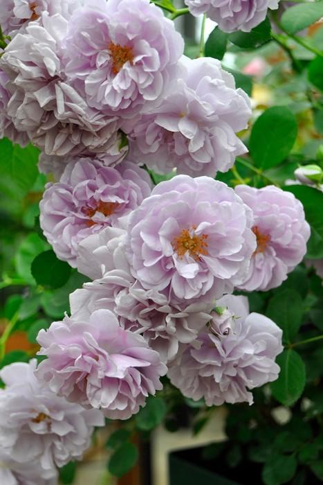 【大苗】バラ苗 レイニーブルー (Cl藤) 国産苗 6号鉢植え品【即納】《J-IR2R》