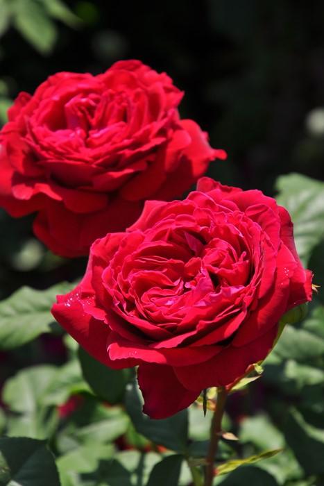 【予約大苗】バラ苗 ゴスペル (Ant黒赤) 国産苗 6号鉢植え品《IR-IRO3》※2月末までにお届け