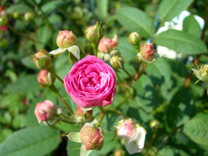 バラ苗【中苗】とうばいのこ【冬梅乃子】(Pol薄桃) 国産苗 6号鉢植え品【即納】《J-OB20》