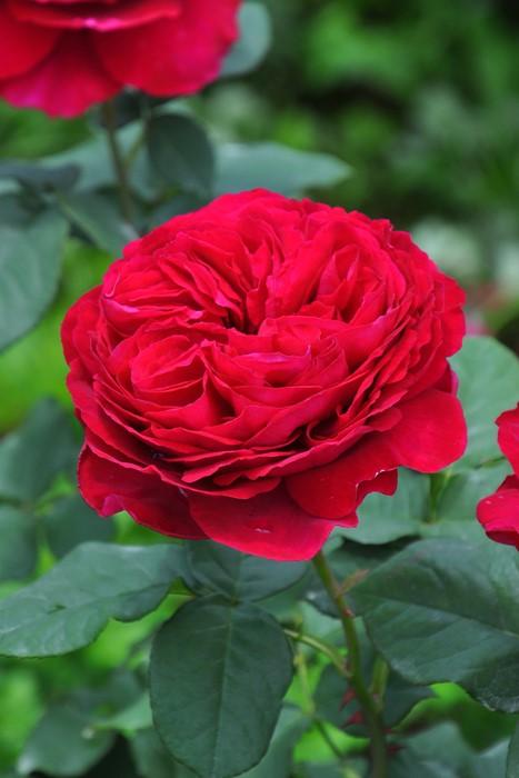 【大苗】バラ苗 ゴスペル (Ant黒赤) 国産苗 6号鉢植え品【即納】《J-IR2R》