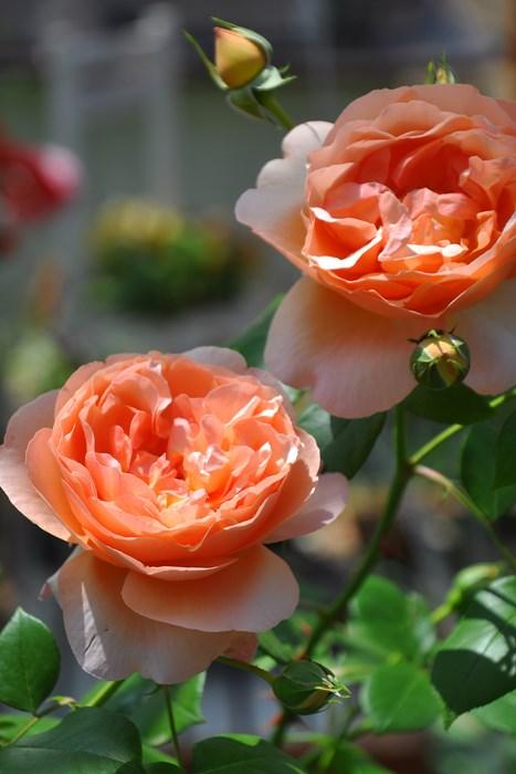 【大苗】バラ苗 ヘブンオンアース (Fl杏) 国産苗 6号鉢植え品《J-FL20》