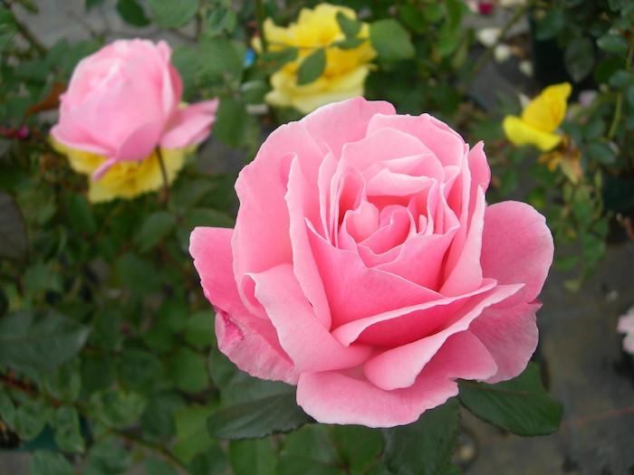 【大苗】バラ苗 クイーンエリザベス (HT桃) 国産苗 6号鉢植え品《YM-B_J-MB》