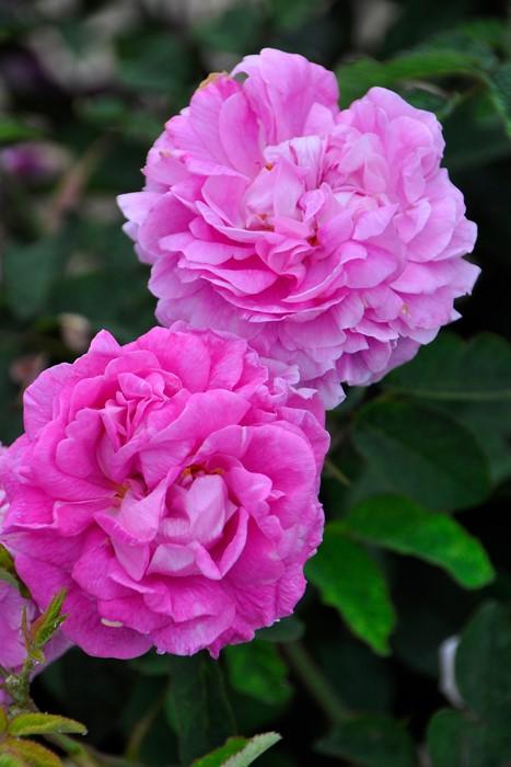 バラ苗【中苗】ロズレドゥライ (HRg濃桃) 国産苗 6号鉢植え品【即納】《J-OB20》