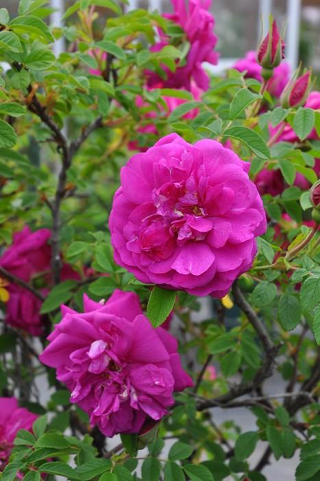 バラ苗【中苗】ロサマイカイ (HRg紫) 国産苗 6号鉢植え品【即納】《J-OB20》