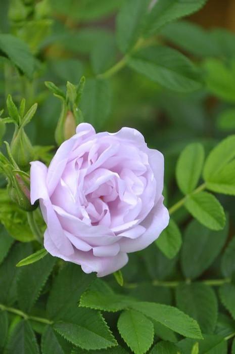 【予約大苗】バラ苗 スノーペイブメント (HRg白) 国産苗 6号鉢植え品《J-MB15》※2月末までにお届け