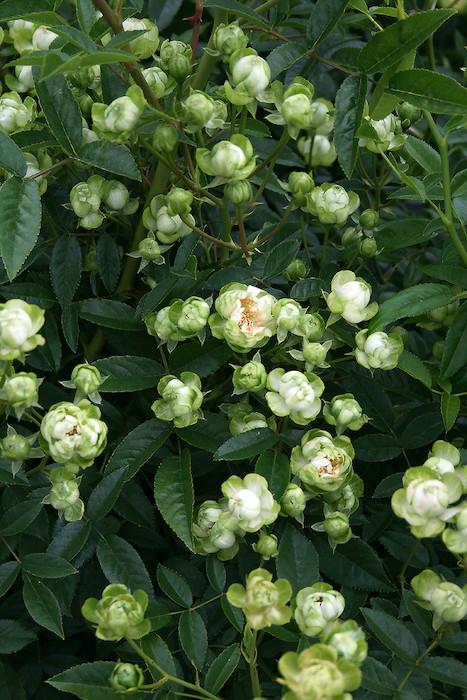 【大苗】バラ苗 エクレール (FL緑) 国産苗 6号鉢植え品【即納】《KMG-GR1》